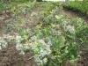 18-heemreis-limburg-9-juni-2012-blauwe-bessenkwekerij