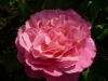 36-heemreis-limburg-9-juni-2012-rozentuin